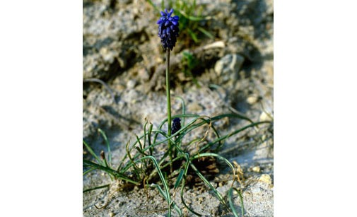 Muscari à grappes, Dicotylédones vivaces